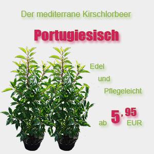 Portugiesischer Kirschlorbeer