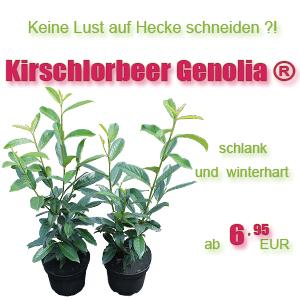 Kirschlorbeer Genolia im Angebot