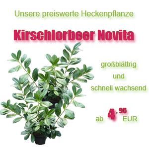 Kirschlorbeer Novita Angebot