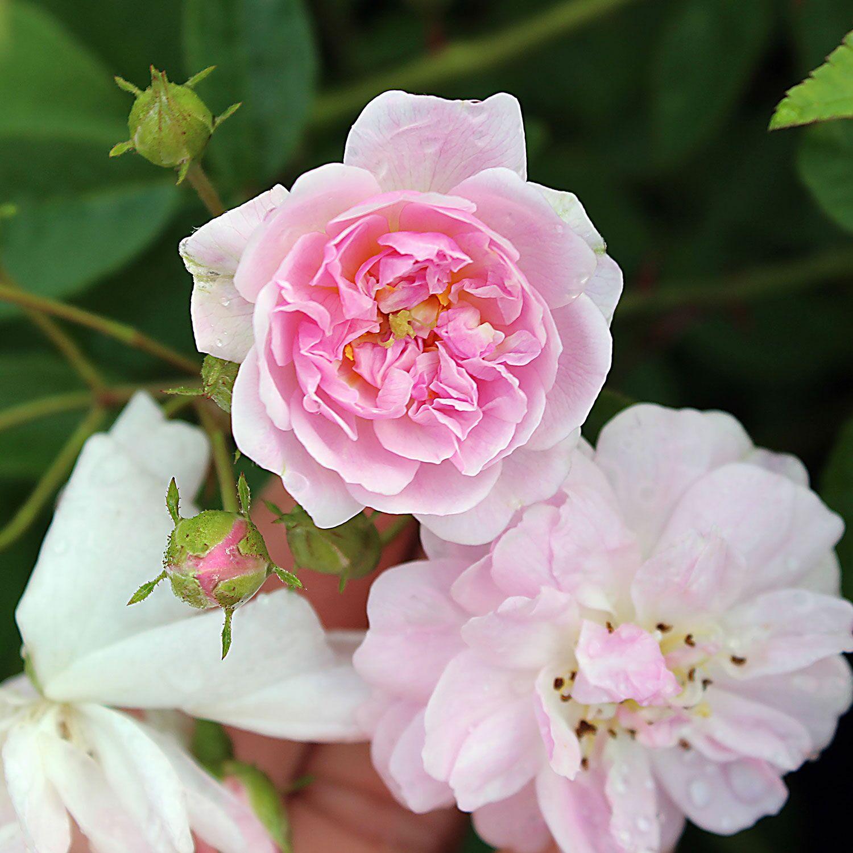 ramblerrose paul s himalayan musk 17 95 traumrosen traumhafte rosen f r ihren garten. Black Bedroom Furniture Sets. Home Design Ideas