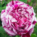 Commandant Beaurepaire Historische Rose